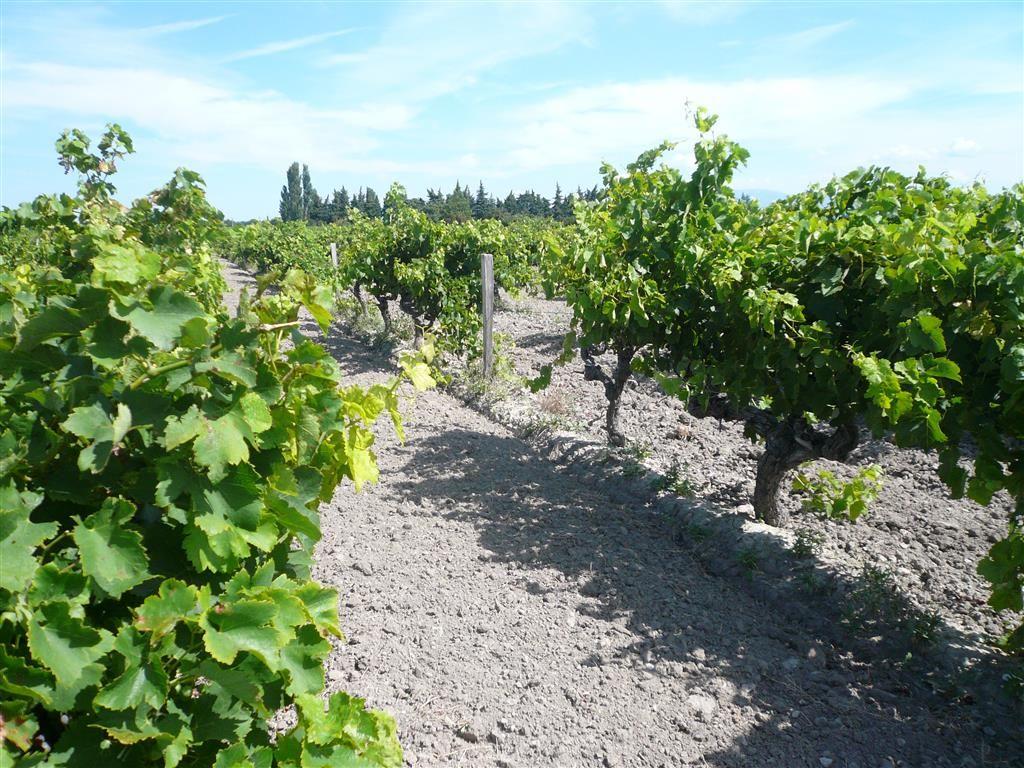 Petit vignoble de 4925 m² planté en Carignan