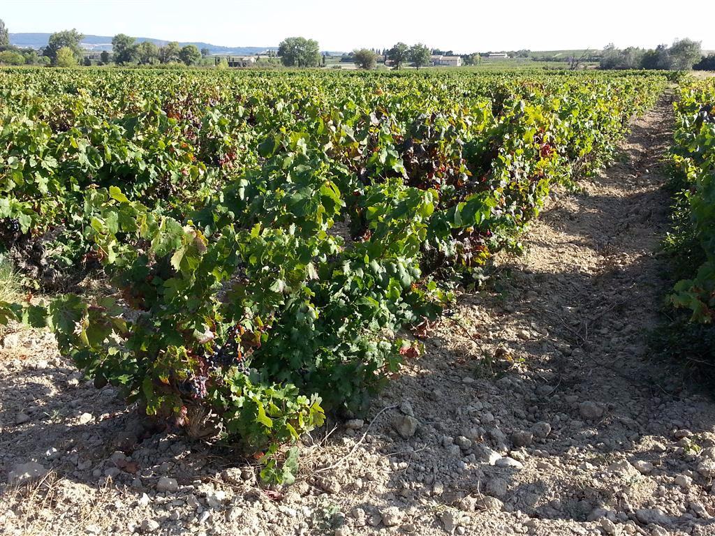 Parcelle de vigne 0,50 ha
