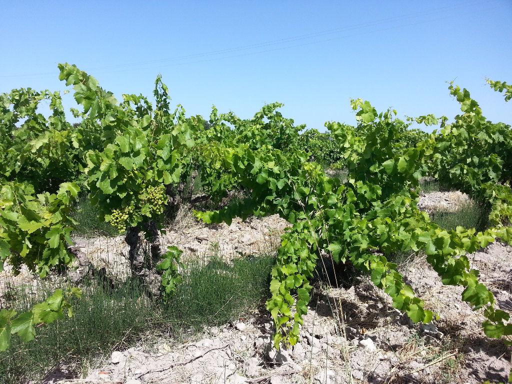 Parcelle de vigne de 1,13 ha