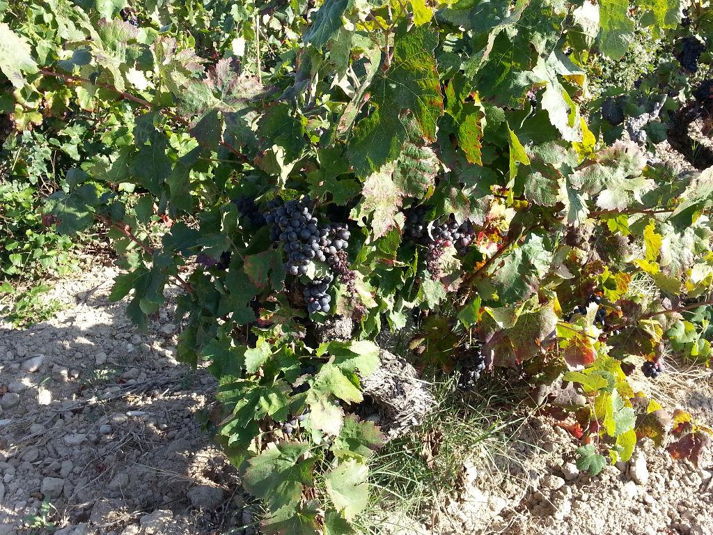 Parcelle de vigne 0,44 ha